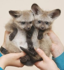 bat eared fox pups